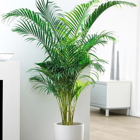 Areca-Palm-2-450w_grande.jpg